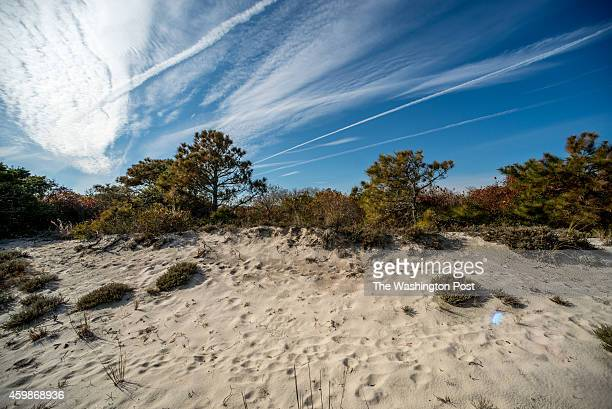 A trees and other plants struggle to survive among the encroaching sand dune on Assateague Island National Seashore Ish Ennis stands along the...