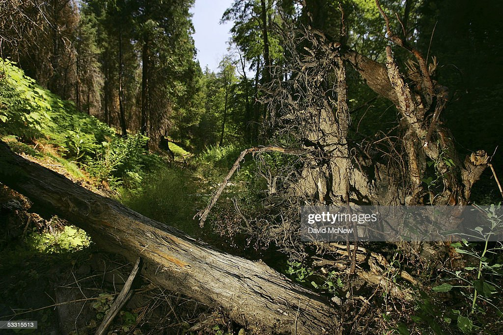 Trees and roots block a dirt road after a winter of record rains on August 1, 2005 near Lake Arrowhead, California. Last winter was one of the wettest on record, dropping 90 inches of rain in some southern California mountain areas and creating the thickest vegetation growth in memory, and damaging more than 2,000 miles of fire access roads used to protect 2.3 million acres of forests. In addition to the many thousands of trees killed by a massive pine beetle infestation, newly grown vegetation is drying up under triple-digit temperatures and raising fears of a repeat of the devastating fire season of 2003. President Bush signed an emergency funding bill in May allocating $25 million to fix roads in southern California?s national forests but Congress has acted slower than expected in providing the money so some of the repairs might not be done until October.