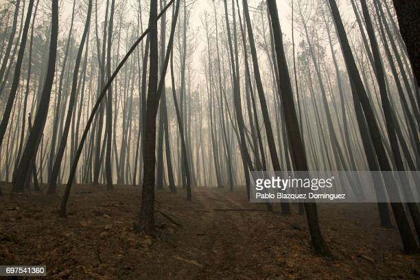 Trees are burned after a wildfire took dozens of lives on June 19 2017 near Castanheira de Pera in Leiria district Portugal On Saturday night a...