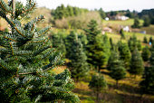 Shallow focus on tree at Christmas Tree farm in the Pacific Northwest