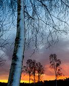 Trees at sunset, Molndal, Vastergotland, Sweden