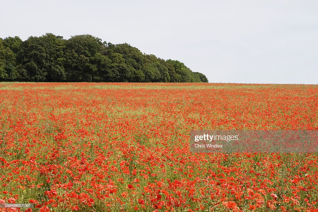 Trees behind field of poppies (Papaver sp.) : Stock Photo