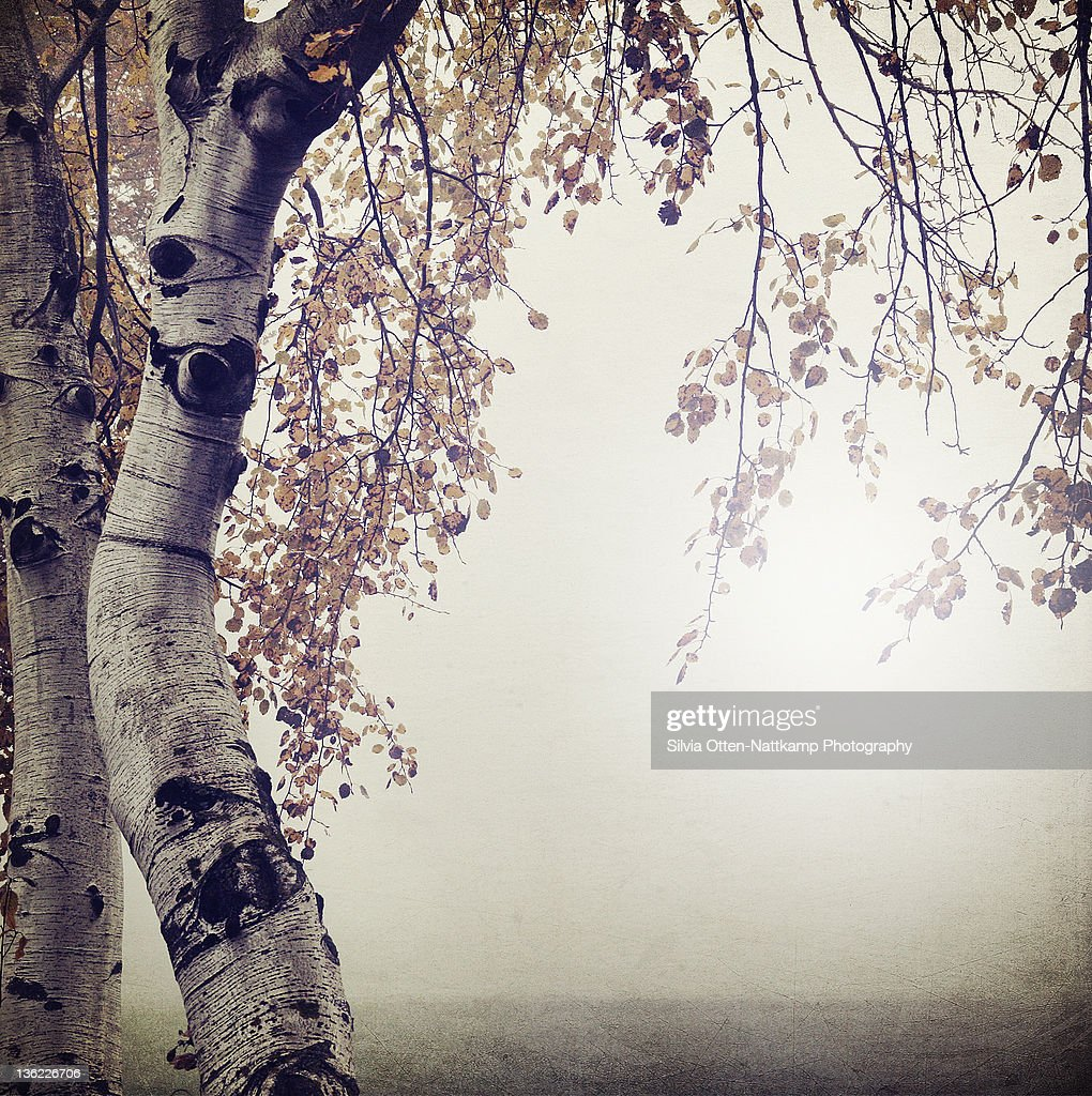 Trees birch field mist fog : Stock Photo
