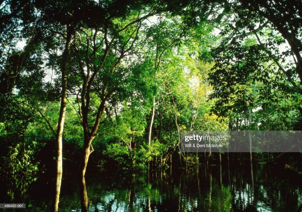 Trees bowing over seasonal high waters, Amazon Jungle, Brazil