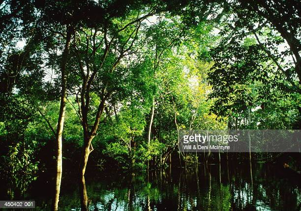 Trees bowing over seasonal high waters, Amazon Jungle, Brazil