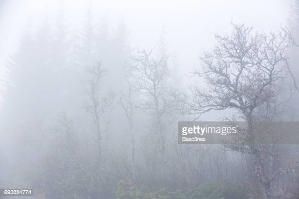Trees covered in fog - Norway