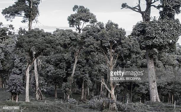 Trees covered with ash are seen in San Gerardo de Irazu some 70 km northeast of San Jose Costa Rica on November 1 after the Turrialba volcano spewed...