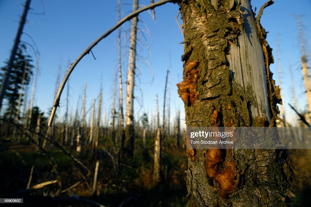 Trees damaged by the effects of toxic acid rain photographed in the highly polluted area known as the 'Black Triangle' in northern Czechoslovakia.
