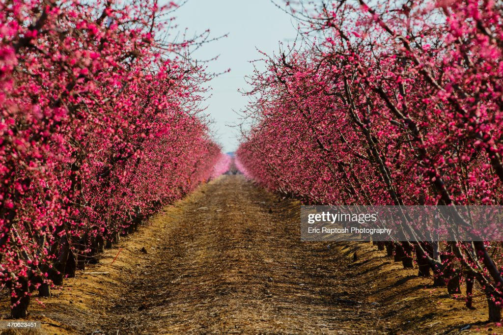 Trees flowering in orchard : Stock Photo