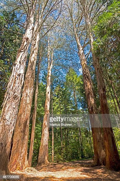 Trees, giant Eucalyptus Trees or Australian Oaks-Eucalyptus regnans-, Eastwoodhill National Arboretum near Gisborne, East Cape, North Island, New Zealand
