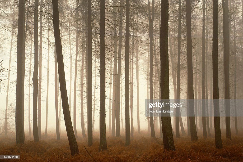 Trees growing in foggy forest : Stock Photo