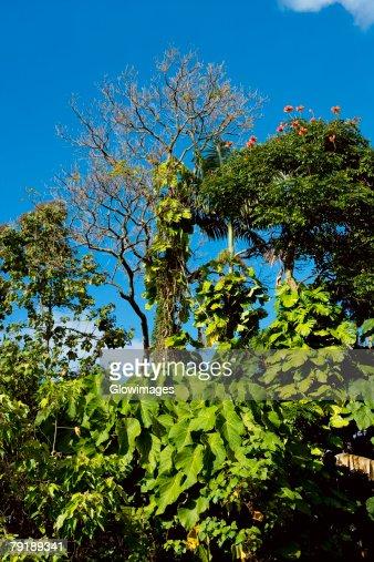 Trees in a forest, Hilo, Big Island, Hawaii Islands, USA : Foto de stock