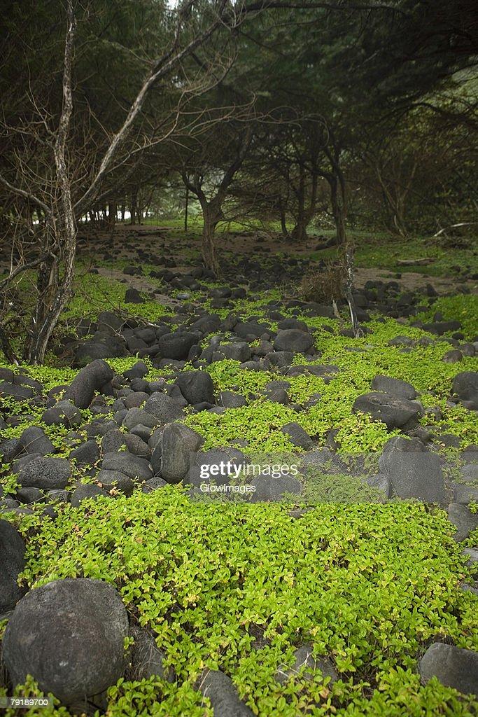 Trees in a forest, Pololu Valley, Kohala, Big Island, Hawaii Islands, USA : Foto de stock