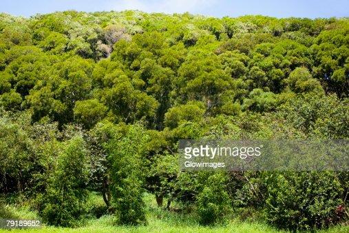 Trees in a forest, Twin Falls, Maui, Hawaii Islands, USA : Foto de stock