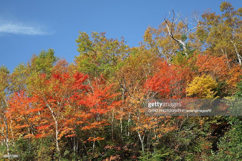 Trees in autumn color, Shiga Plateau, Yamanouchi town, Nagano prefecture, Japan