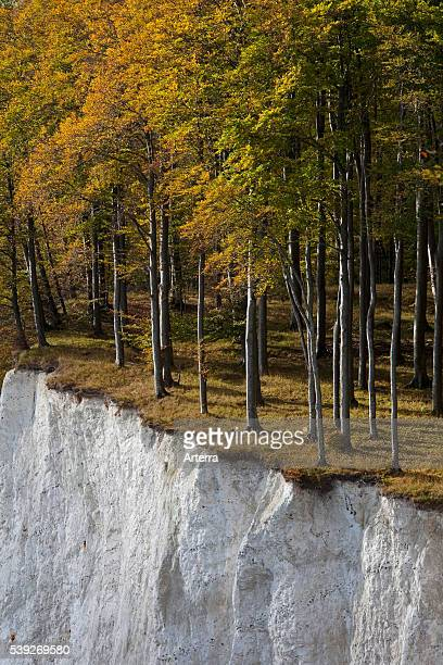 Trees in autumn colors at the edge of chalk cliff chalk Jasmund National Park island of Ruegen MecklenburgWestern Pomerania Germany