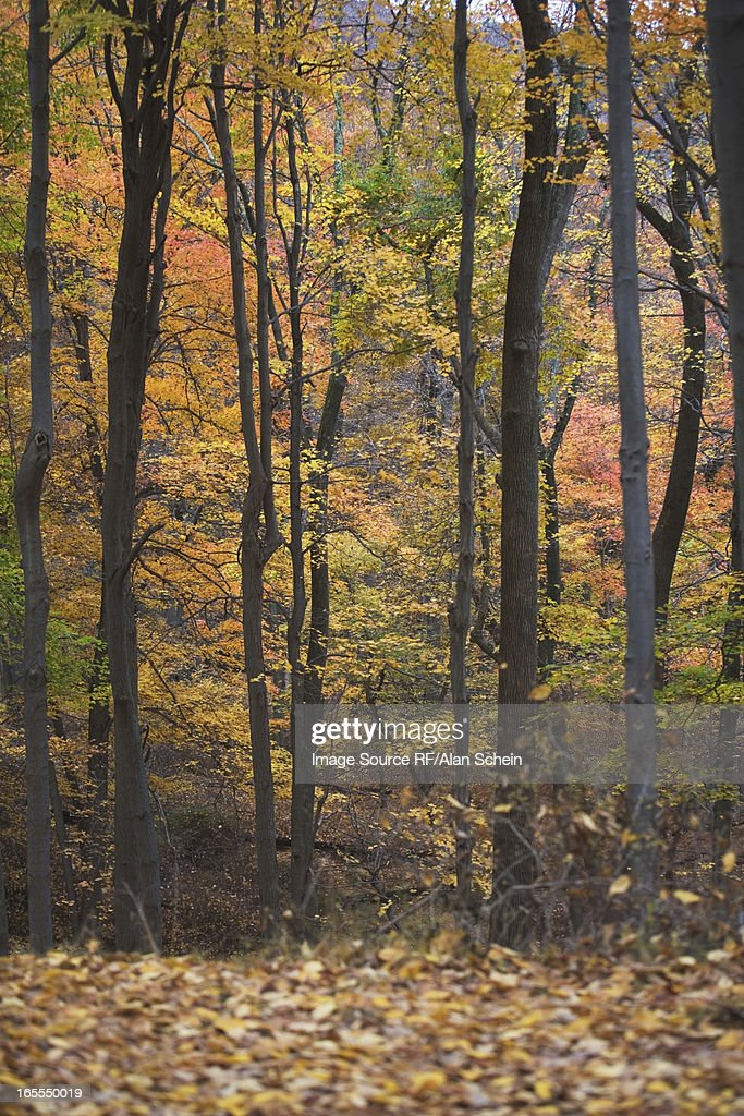 Trees in autumn forest : Stock Photo