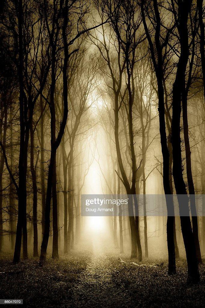 Trees in fog : Stock Photo