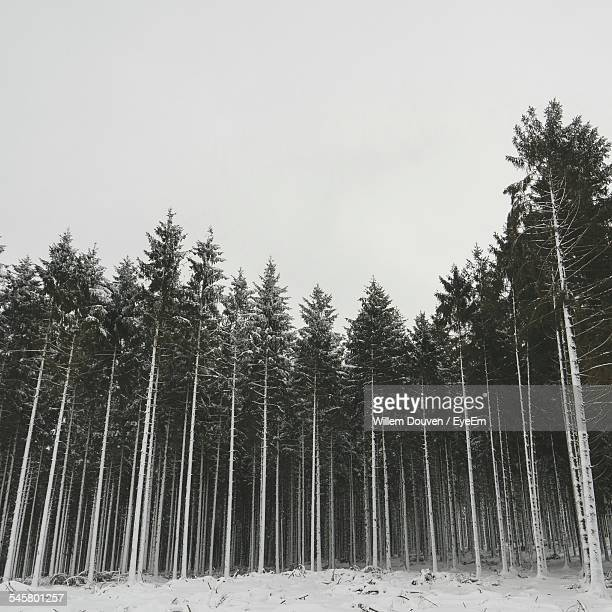 Trees In Forest Against Clear Sky During Winter