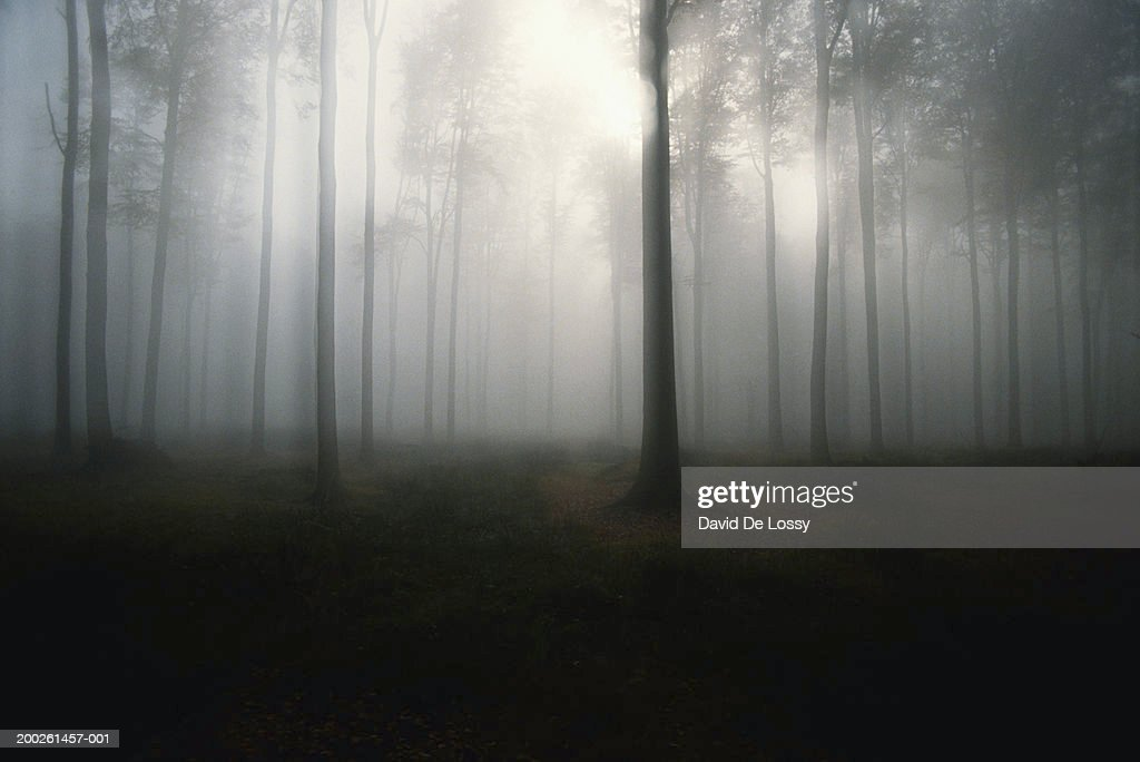 Trees in forest, mist : Stock Photo