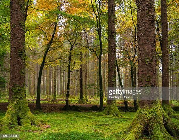 Trees in Gougane Barra Forest Park