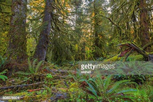 Bäume in Hoh-Regenwald : Stock-Foto