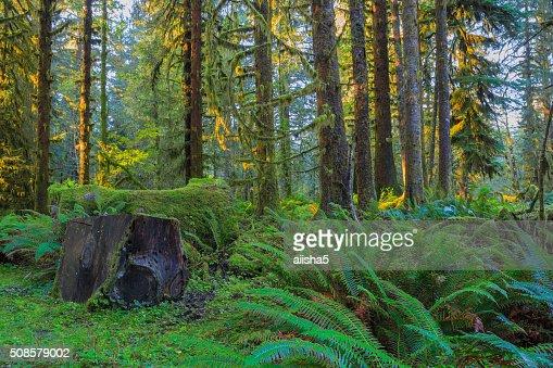 Trees in Hoh Rainforest : Bildbanksbilder