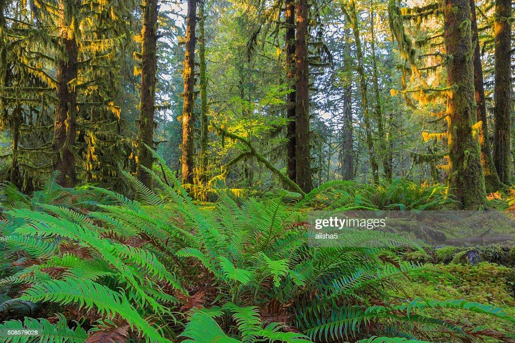 Alberi nella foresta pluviale di Hoh : Foto stock