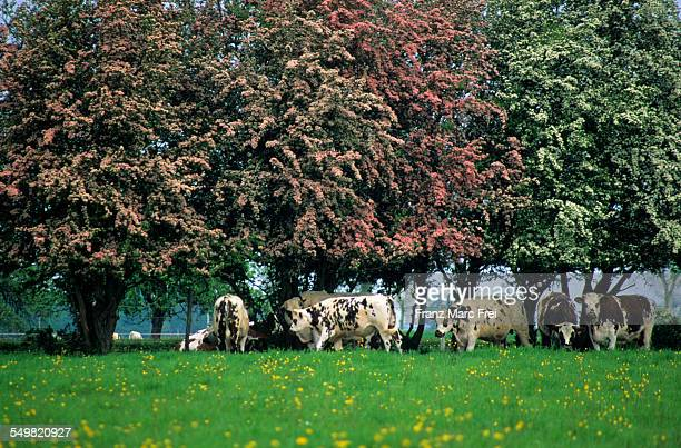 Trees in spring and cows, Pays de Caux