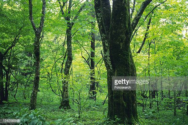 Trees in the Woods, Front View, Pan Focus