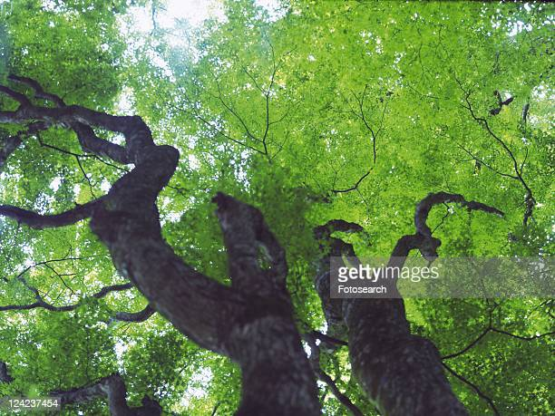 Trees in the Woods, Low Angle View, Pan Focus