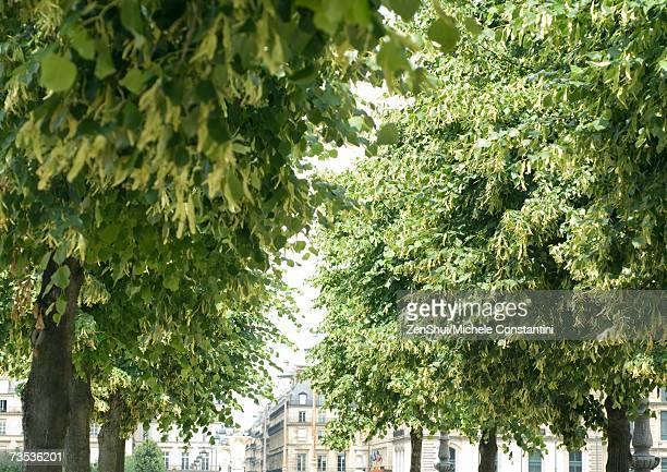 Trees in Tuileries Gardens, Paris, France