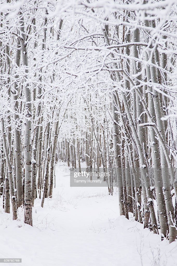 Trees in winter : Stock Photo