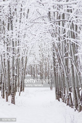 Trees in winter : Stock-Foto
