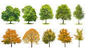 Trees isolated on white background. Oak, maple, linden, birch. Green andyellow leaves