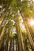 Tall trees in a forest with sun rays