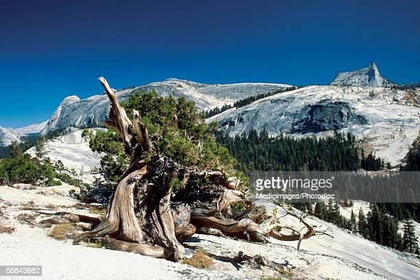 Trees on a mountain, Yosemite National Park, Mariposa County, California, USA