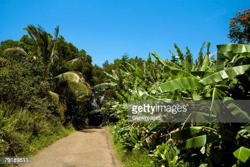Trees on both sides of a road, Maui, Hawaii Islands, USA : Foto de stock