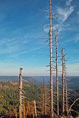 trees on Mont Hornisgrinde Black Forest