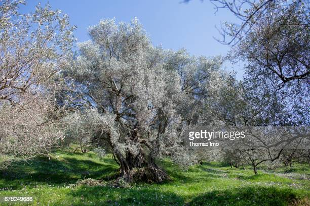 Trees on the Subashi plantation Here olives are cultivated for the production of olive oil on March 28 2017 in Tirana Albania