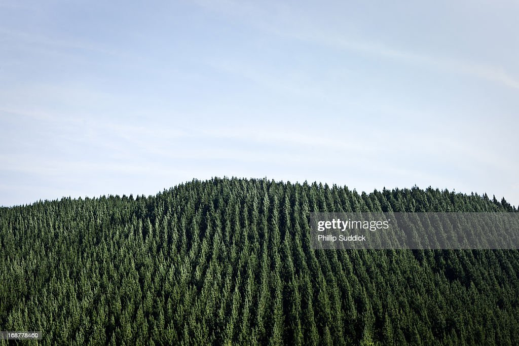 trees planted in rows New Zealand forestry, sustainable forestry