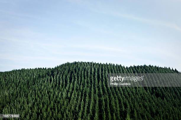 trees planted in rows New Zealand forestry