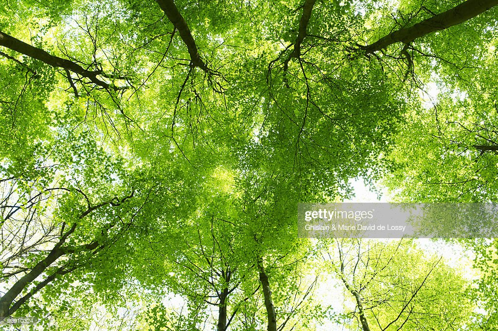 Trees, shot from below : Stock Photo