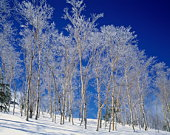 Trees white with frost, Yamanouchi town, Nagano prefecture, Japan