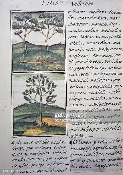 Trees wild cypresses and firs page from the Florentine Codex bilingual version in Spanish and Nahuatl General History of the Things of New Spain by...