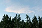 Treetops and sky at summer dawn