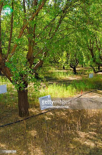 Treevix with glyphosate test BASF experimental farm Dinuba CA USA
