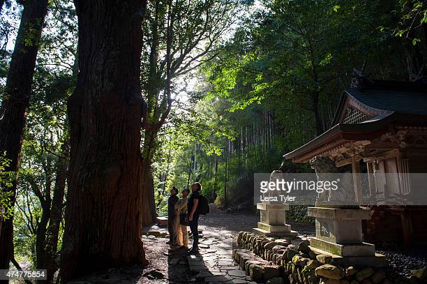 Trekkers look to the top of a giant camphor tree on the Kumano Kodo trail a World Heritage listed pilgrim trail on the Kii Peninsula in Japan A...