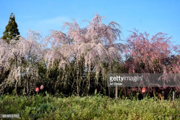 Tri Colored Cherry Trees