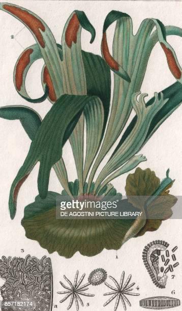 Triangular staghorn Elkhorn fern colour copper engraving retouched in watercolour 9x15 cm from Dizionario delle scienze naturali compilato da vari...